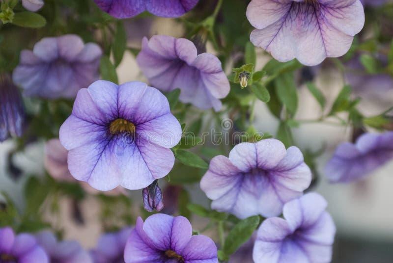 Schöne Petunien, die in einem Garten blühen stockfoto