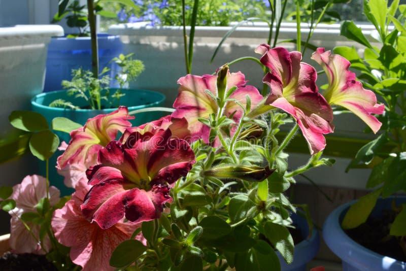 Schöne Petunienblumen am sonnigen Sommertag Balkongartenarbeit stockfotografie