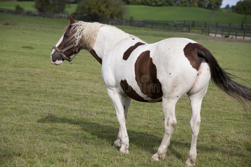 Schöne Pferde lizenzfreies stockbild