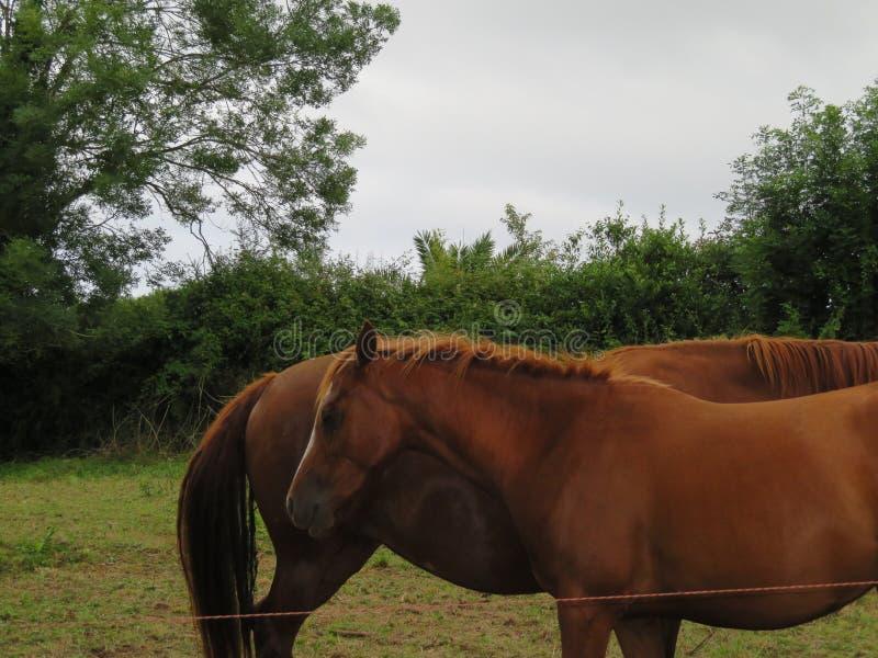 Schöne Pferde des reinen spanischen sich zu überwachen Rennens, lizenzfreie stockfotografie
