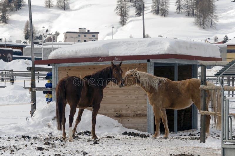 Schöne Pferde, die in der Scheune in den schneebedeckten Alpen die Schweiz im Winter spielen lizenzfreie stockfotografie