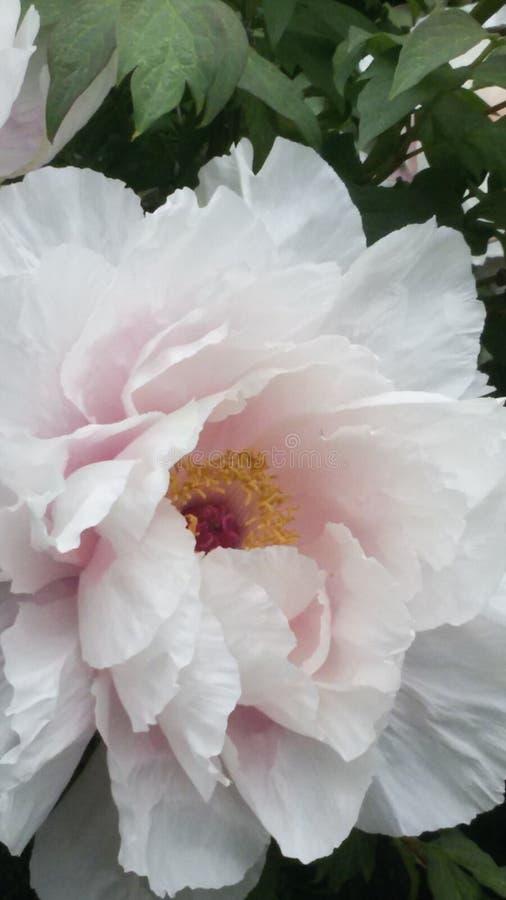 Schöne Pfingstrose Rose lizenzfreie stockfotos