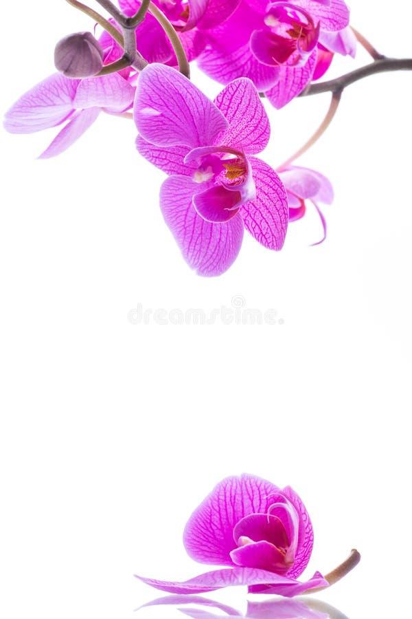Schöne Phalaenopsisorchideenblumen stockfotos