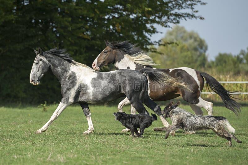 Schöne Pintopferde am Galopp mit Hunden lizenzfreie stockbilder