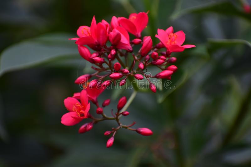Schöne Poppy Red Flowers lizenzfreies stockbild