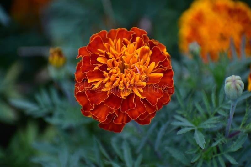 Schöne Poppy Yellow und rote Schatten-Blumen im Park lizenzfreies stockbild