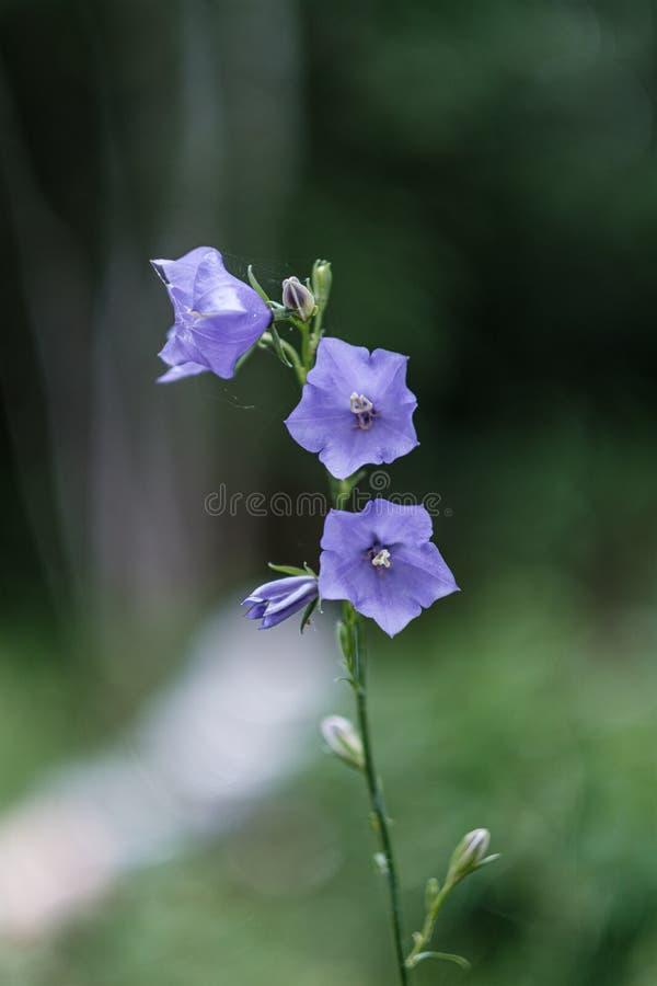 schöne purpurrote blaue Sommerblumen lokalisiert auf grünem Hintergrund lizenzfreie stockfotos