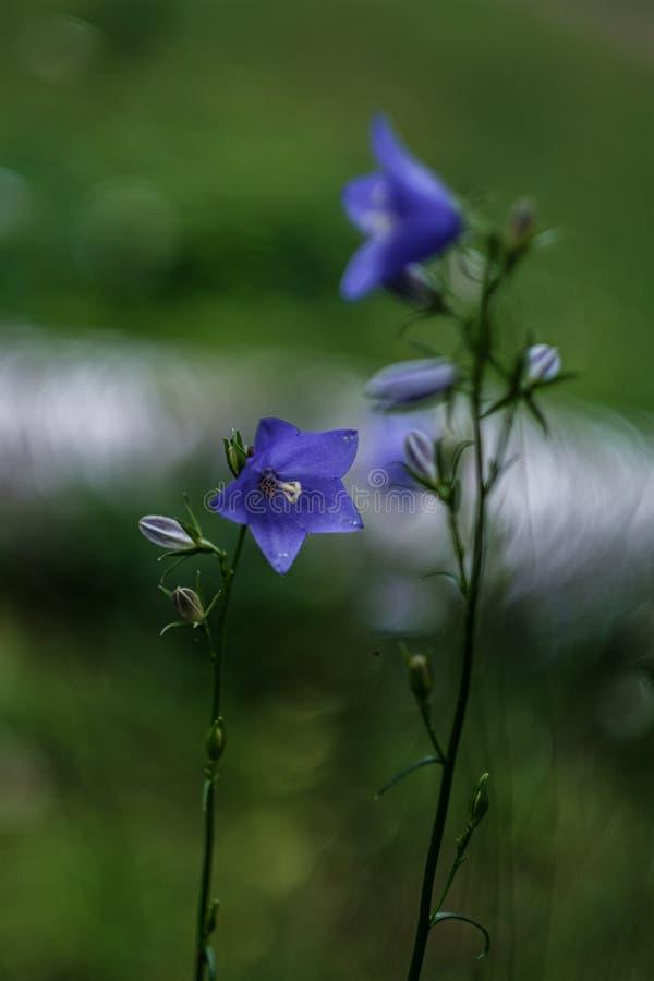 schöne purpurrote blaue Sommerblumen lokalisiert auf grünem Hintergrund lizenzfreie stockfotografie