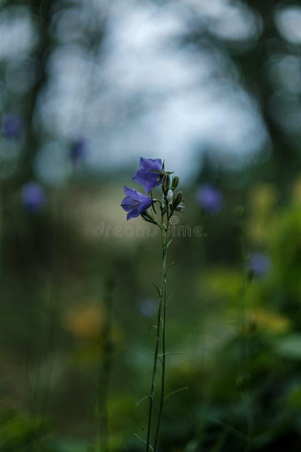 schöne purpurrote blaue Sommerblumen lokalisiert auf grünem Hintergrund lizenzfreies stockfoto