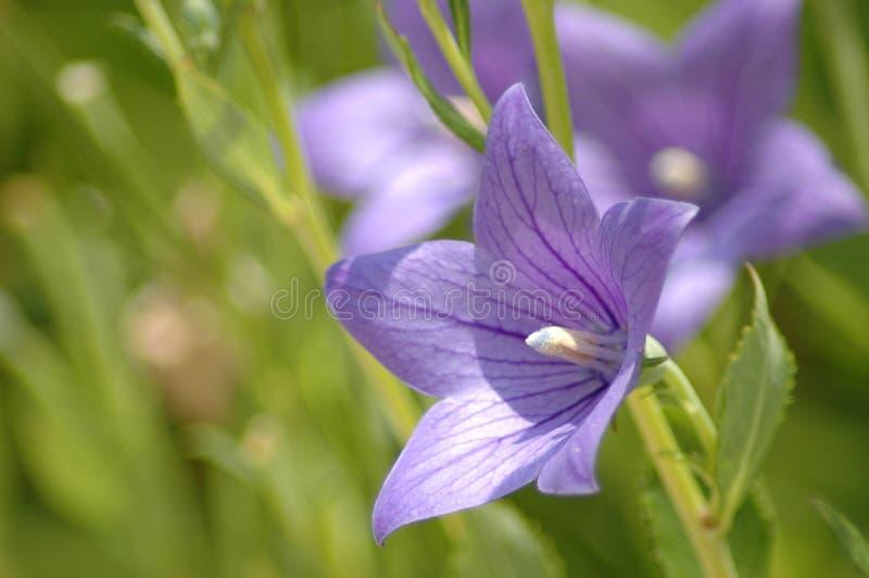 Schöne purpurrote Blume lizenzfreies stockbild