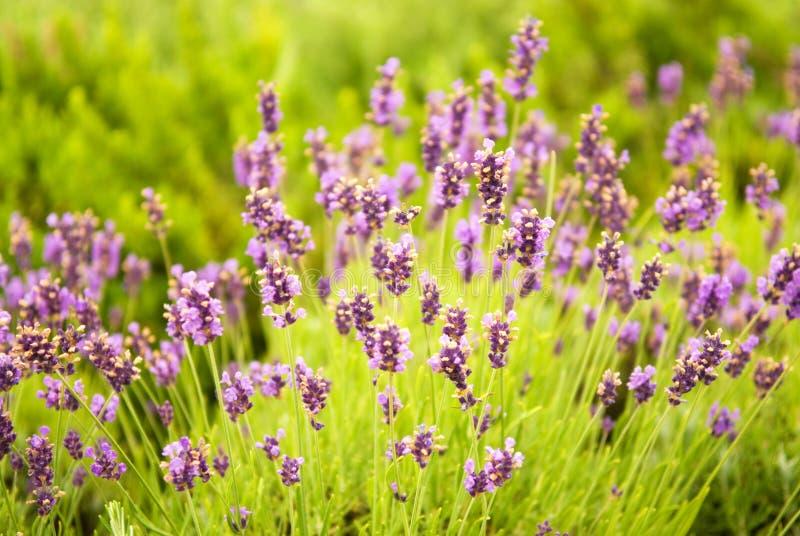 Schöne purpurrote Blumen lizenzfreie stockbilder