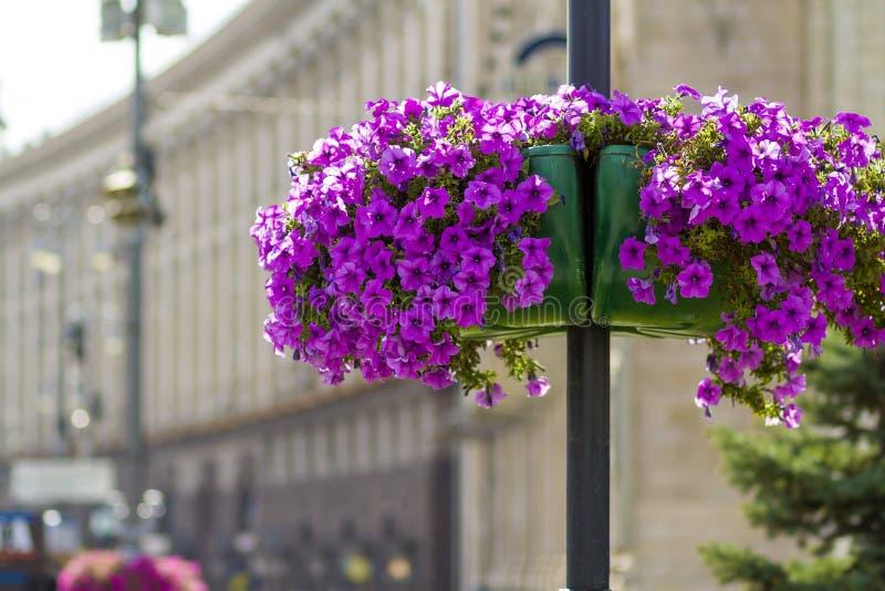 Schöne purpurrote Blumen im Blumentopf auf dem Straßenlaternenpfahlpfosten in der Stadt lizenzfreies stockfoto