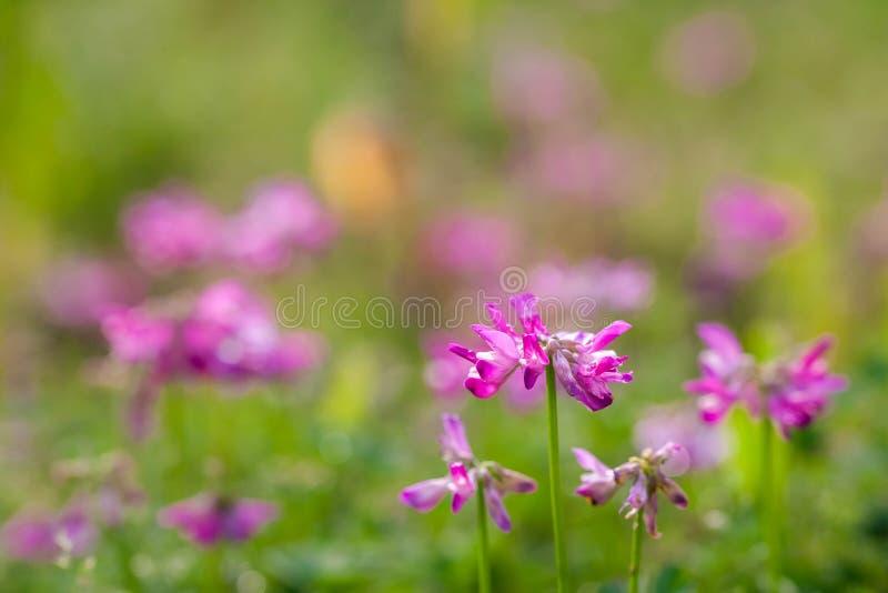 Schöne purpurrote Blumen unter der Sonne stockbilder