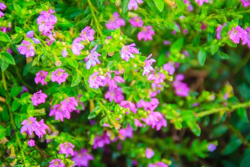 Schöne purpurrote Cuphea-hyssopifolia Blume, alias falsch stockfoto