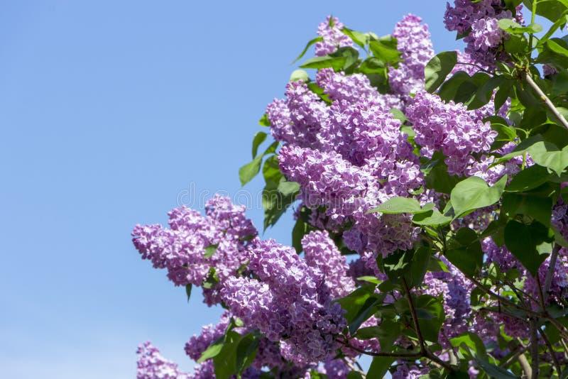 Schöne purpurrote lila Blumen draußen lizenzfreies stockbild