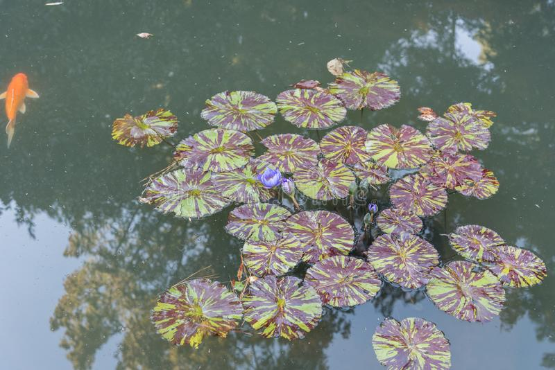 Schöne purpurrote Lotosblumen und -blätter an den Herzoggärten lizenzfreie stockfotografie