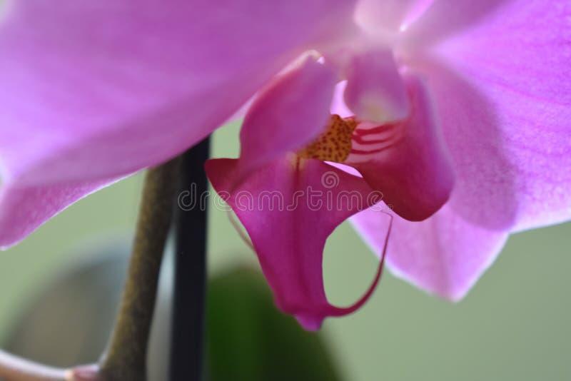 Schöne purpurrote Orchidee lizenzfreies stockbild