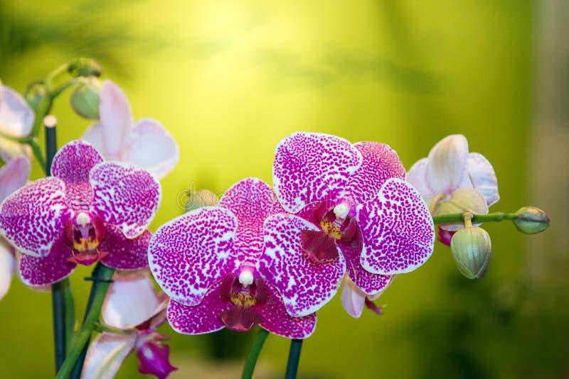 Schöne purpurrote Orchidee stockbild