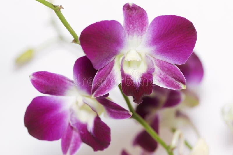 Schöne purpurrote Orchidee auf Zweig lizenzfreies stockfoto