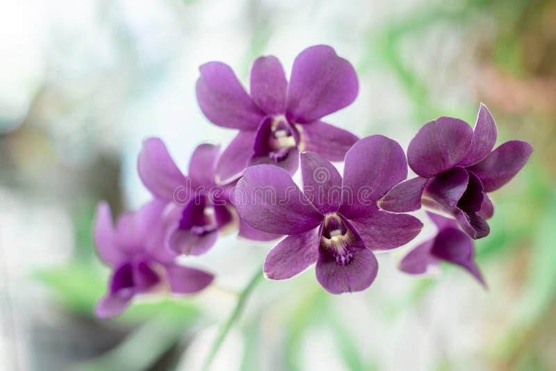 Schöne purpurrote Orchideen, die auf Garten mit grünem und weißem undeutlichem Hintergrund blühen Selektiver Fokus lizenzfreie stockfotos