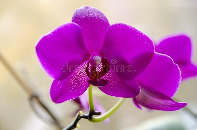 Schöne purpurrote Phalaenopsisorchidee stockfoto