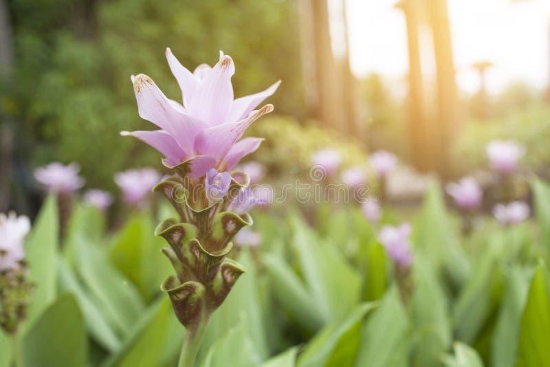 Schöne purpurrote Siam-Tulpe über unscharfem warmem Licht des Gartens und der Weinlese stockbild