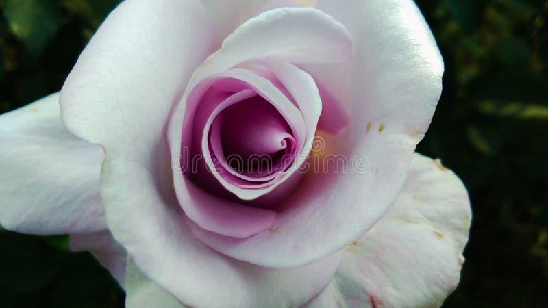 Schöne purpurrote und weiße Farbe-Rosen-Blume lizenzfreie stockfotografie