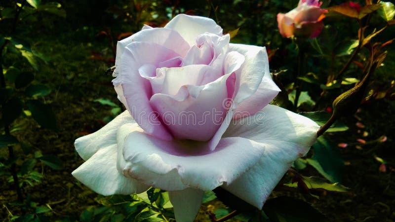Schöne purpurrote und weiße Farbe-Rosen-Blume lizenzfreie stockbilder