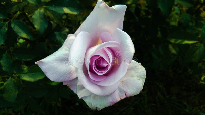 Schöne purpurrote und weiße Farbe-Rosen-Blume lizenzfreie stockfotos