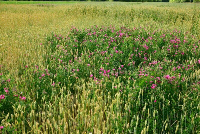 schöne purpurrote Wildflowers auf einem Weizengebiet stockbild