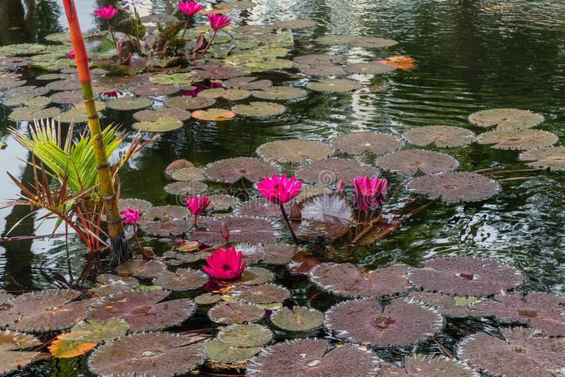 Schöne rötliche des Purpurs Blumen waterlily auf Oahu stockbild