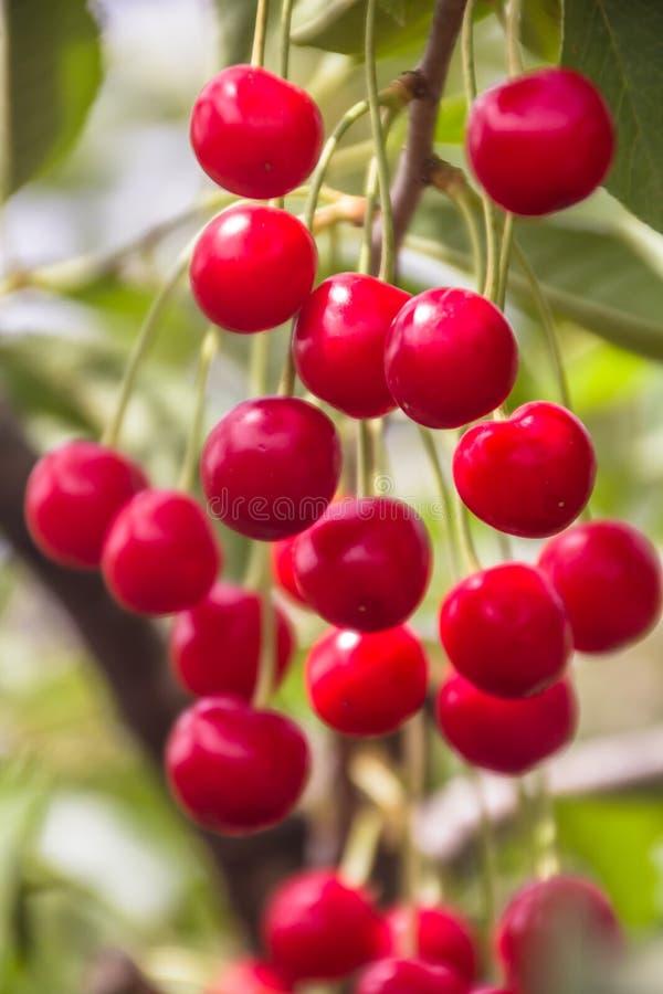 Schöne reife und neue Gruppe rote Sauerkirschen lizenzfreie stockfotos