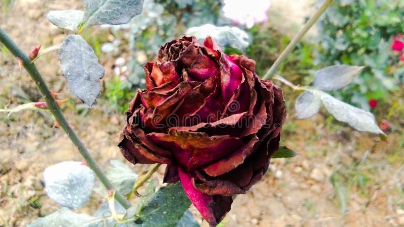 Schöne romantische trockene rote Rose lizenzfreies stockbild