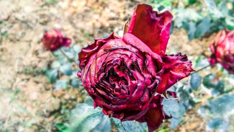 Schöne romantische trockene rote Rose stockfoto