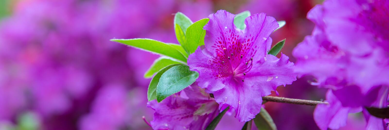 Schöne rosa Azaleenfahne stockbild