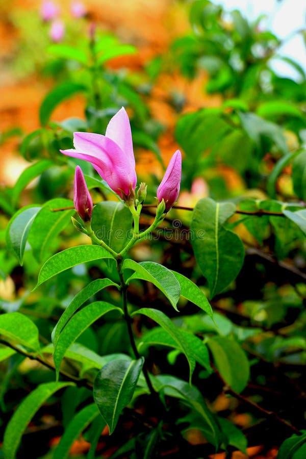 Schöne rosa Blüte stockfoto