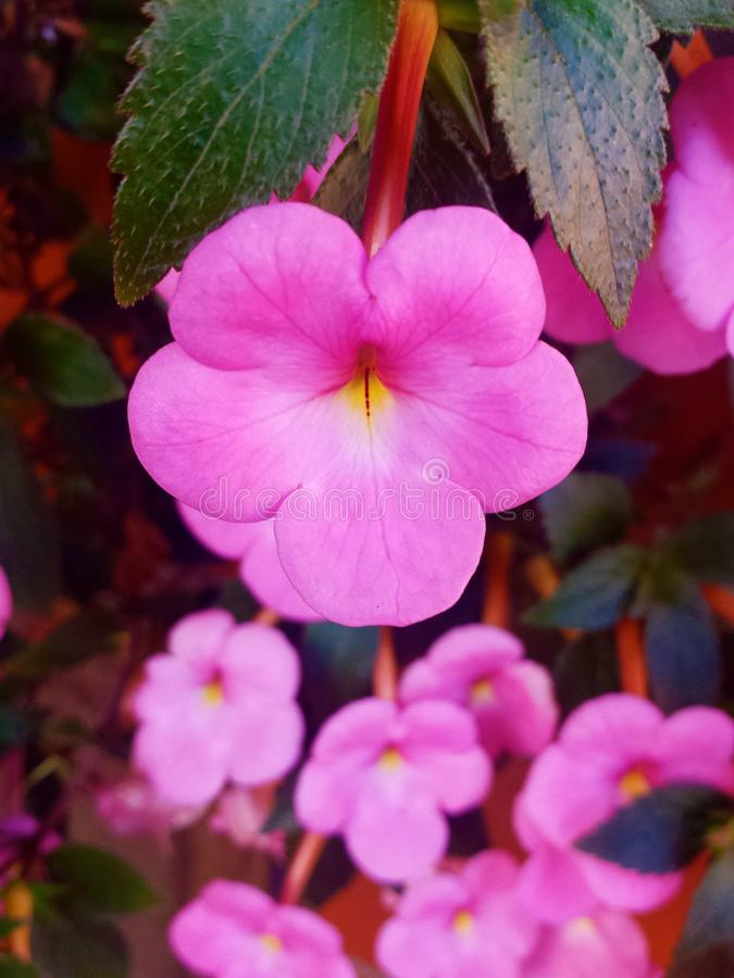 Schöne rosa Blume stockfotografie