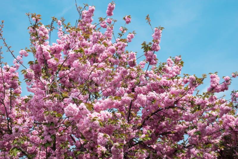 Schöne rosa Blumen auf blühenden Niederlassungen des Baums im Frühjahr und des blauen Himmels als Hintergrund stockbild