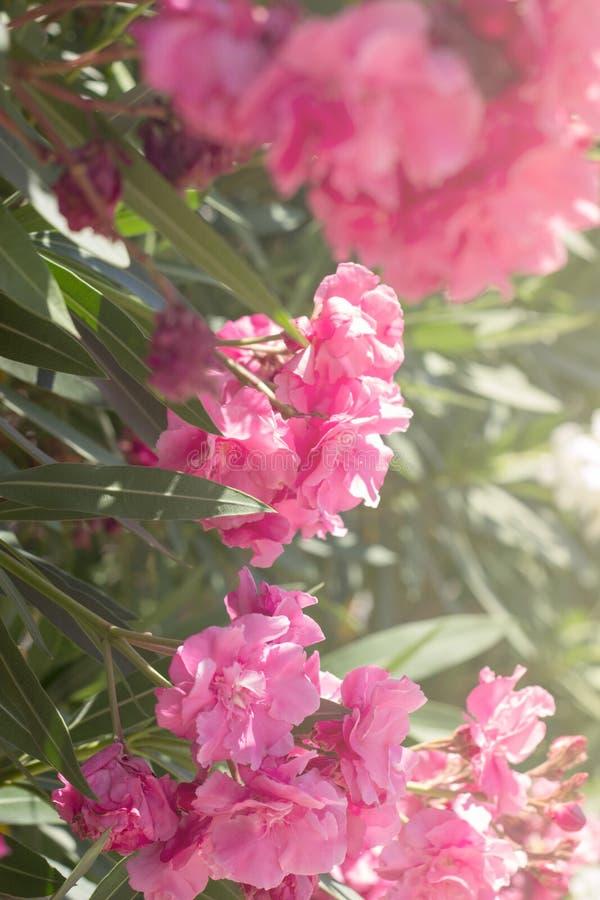 Schöne rosa Blumen; Blumenhintergrund lizenzfreie stockbilder