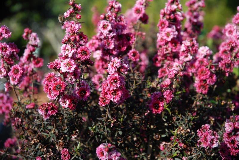Schöne rosa Blumen von Manuka Myrte stockfotografie