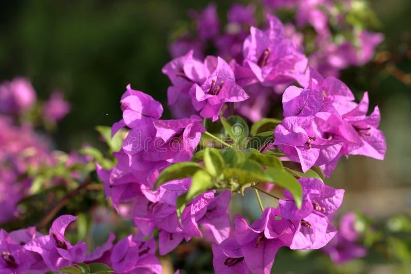 Schöne rosa Bougainvillea-Blumen lizenzfreie stockbilder