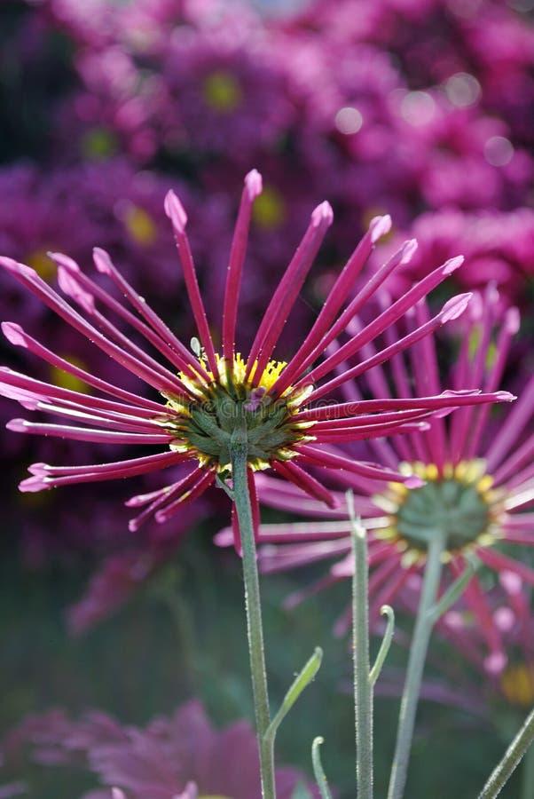 Schöne rosa Chrysanthemen, die im Garten blühen stockfotos