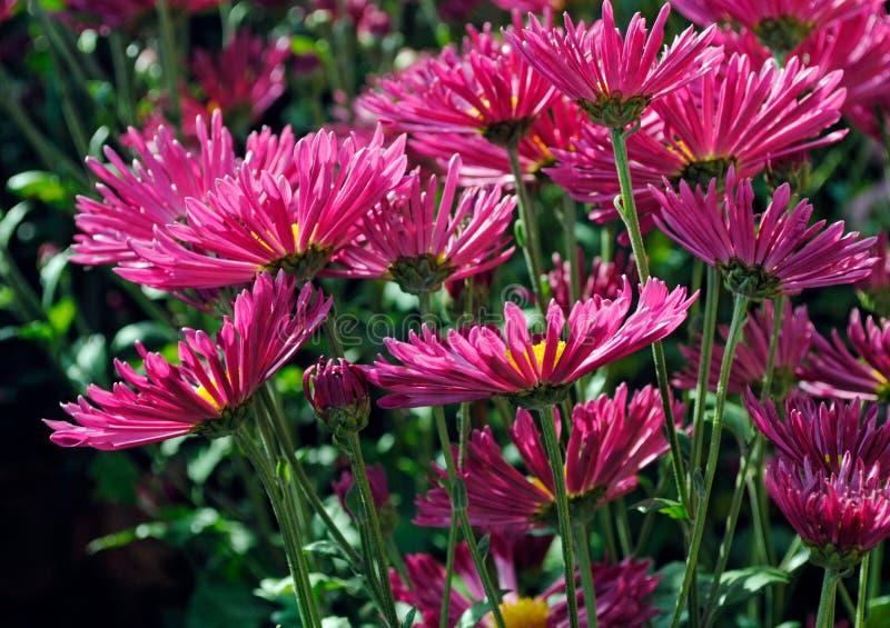 Schöne rosa Chrysanthemen im Herbstgarten stockfoto