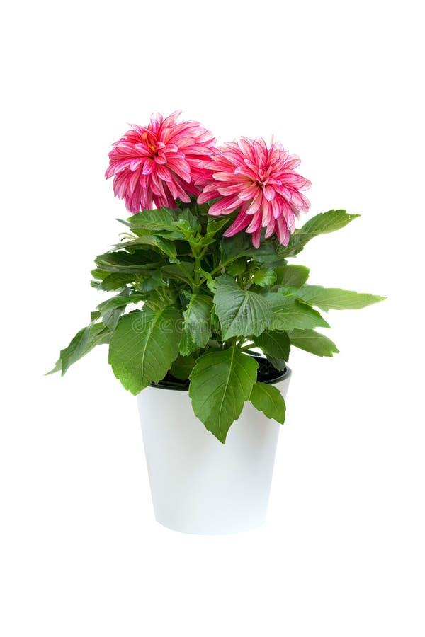 Schöne rosa Dahlie im Topf lokalisiert auf einem weißen Hintergrund stockfotos