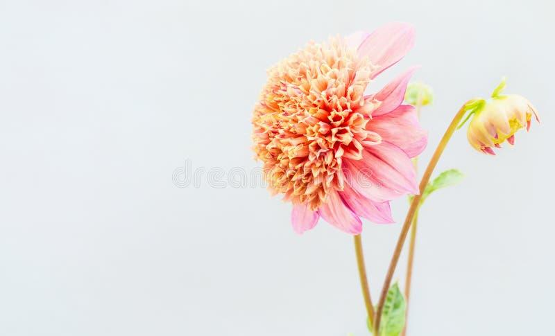 Schöne rosa Dahlienblumen an der hellen Wand stockfoto
