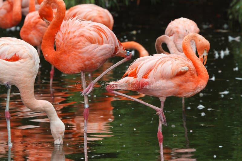 Schöne rosa Flamingos auf der Seenahaufnahme lizenzfreie stockbilder