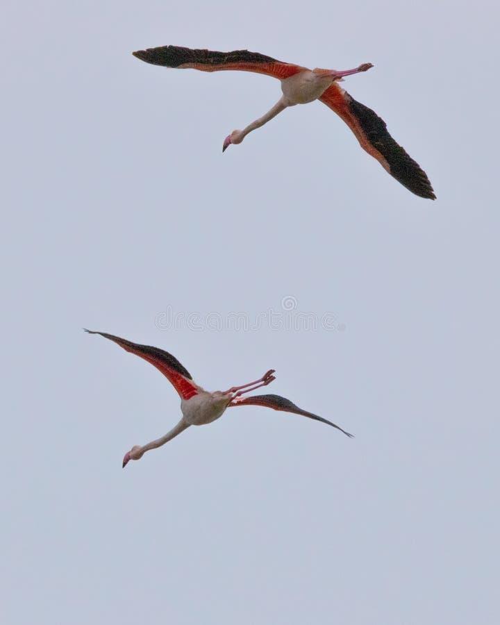 Schöne rosa Flamingos mit Flügelverbreitungsfliegen in Porto Lagos, Xanthi, Griechenland lizenzfreie stockfotografie