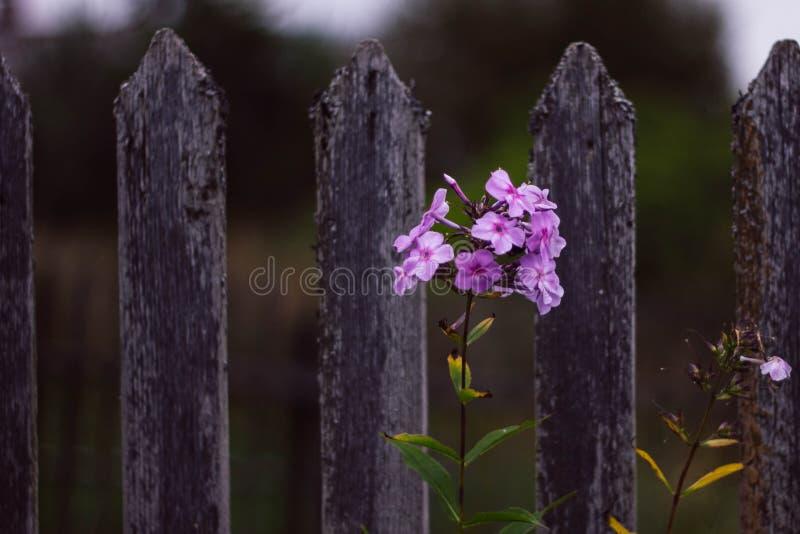 Sch?ne rosa Flammenblume auf dem Hintergrund eines grauen Dorfzauns Niederlassungsrosa Flammenblume im Dorf Blumen stockbild