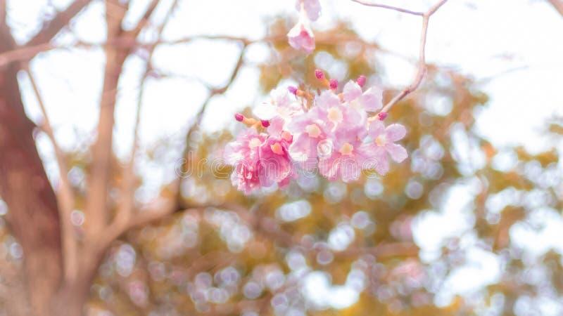 Schöne rosa Frühlingsblütenblumen auf einem Baumast lizenzfreies stockfoto