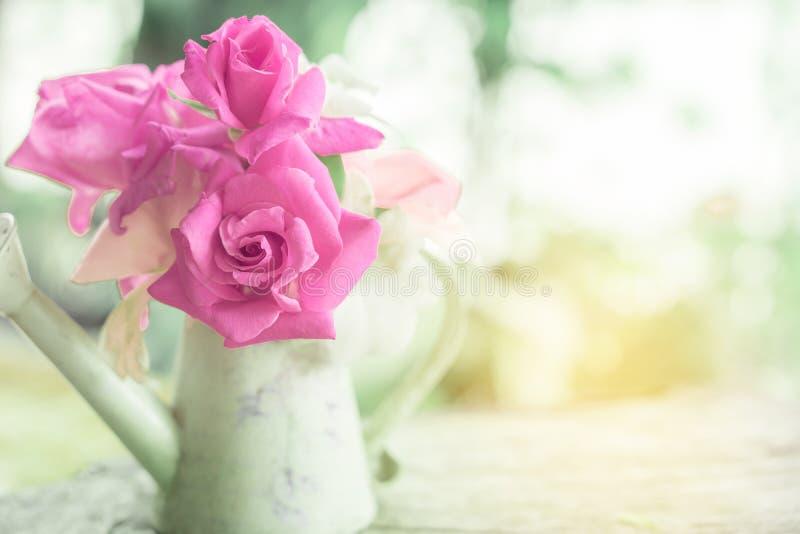 Schöne rosa Gartenrosen blühen im Weinlesekrug über Naturunschärfehintergrund lizenzfreie stockfotografie